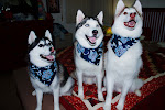 My beautiful Siberian Huskies!