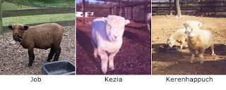 it takes a female sheep five