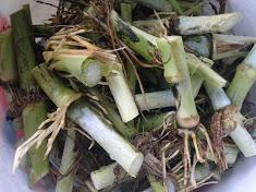 rumput napier india