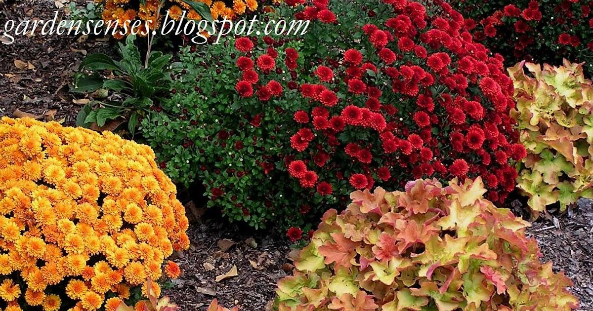 Garden Sense Mums Stunning Combinations