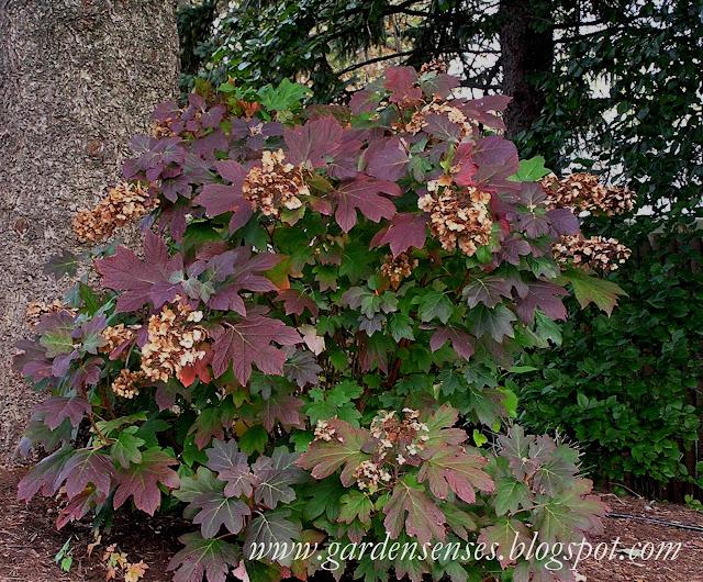 Oakleaf Hydrangea  Hydrangea quercifolia  hasOakleaf Hydrangea Fall Color