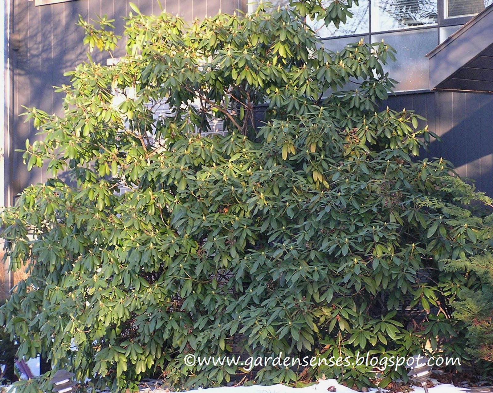 Garden sense evergreen shrubs for The evergreen