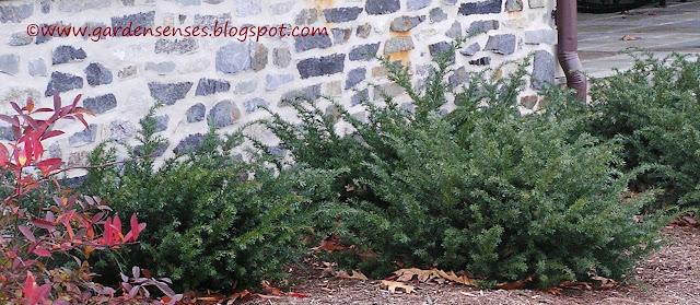 Garden sense evergreen shrubs for Low growing plants for landscaping