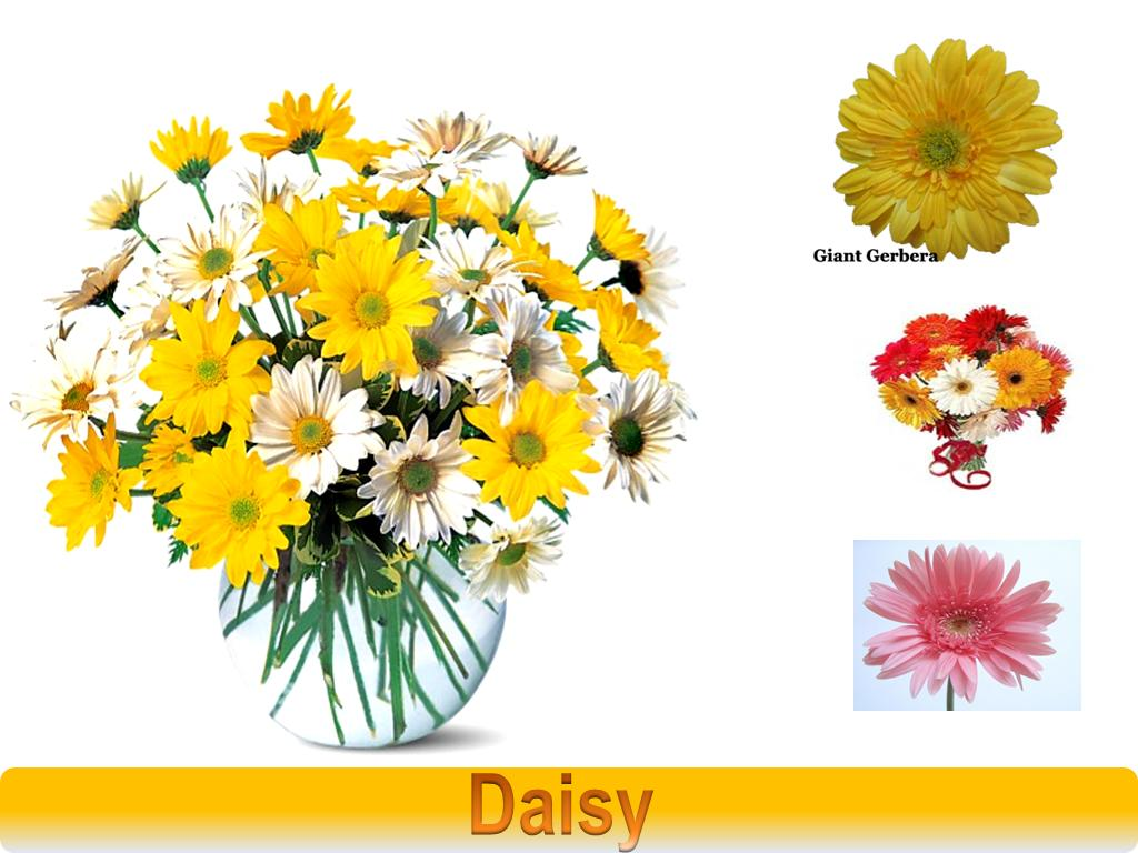 Flowers of bangladesh daisy daisy a daisy flower is composed of white petals and yellow centers although the flowers are sometimes a pink or rose color daisies are not one flower izmirmasajfo