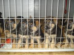 Cachorros com 6 Semans