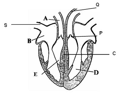 Score bio the diagram below shows the cross section of a human heart ccuart Image collections