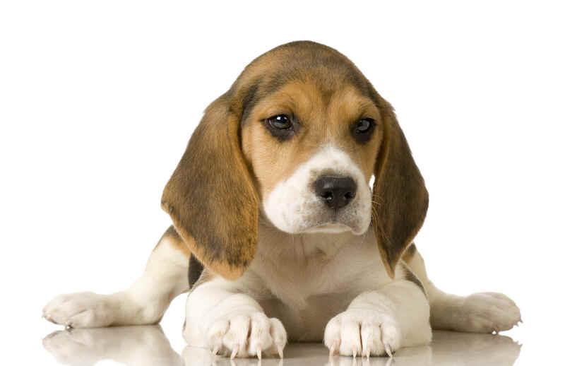 Beagle Funny Dogs
