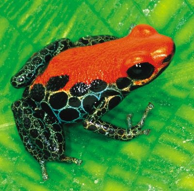 Some really cool photos of poison dart frogs: ©2009 Tammy Yee