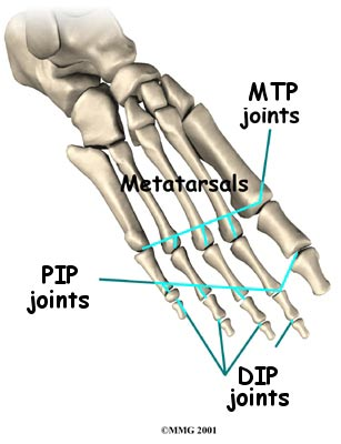 Toe joint anatomy