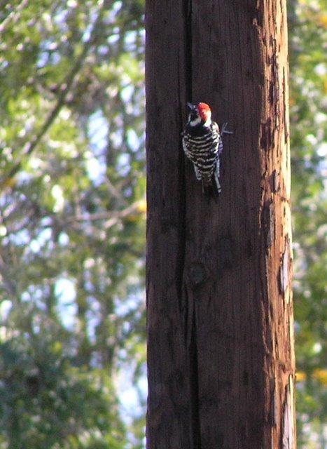 [woodpecker]