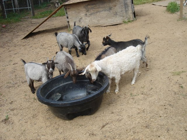 [empty+goats]