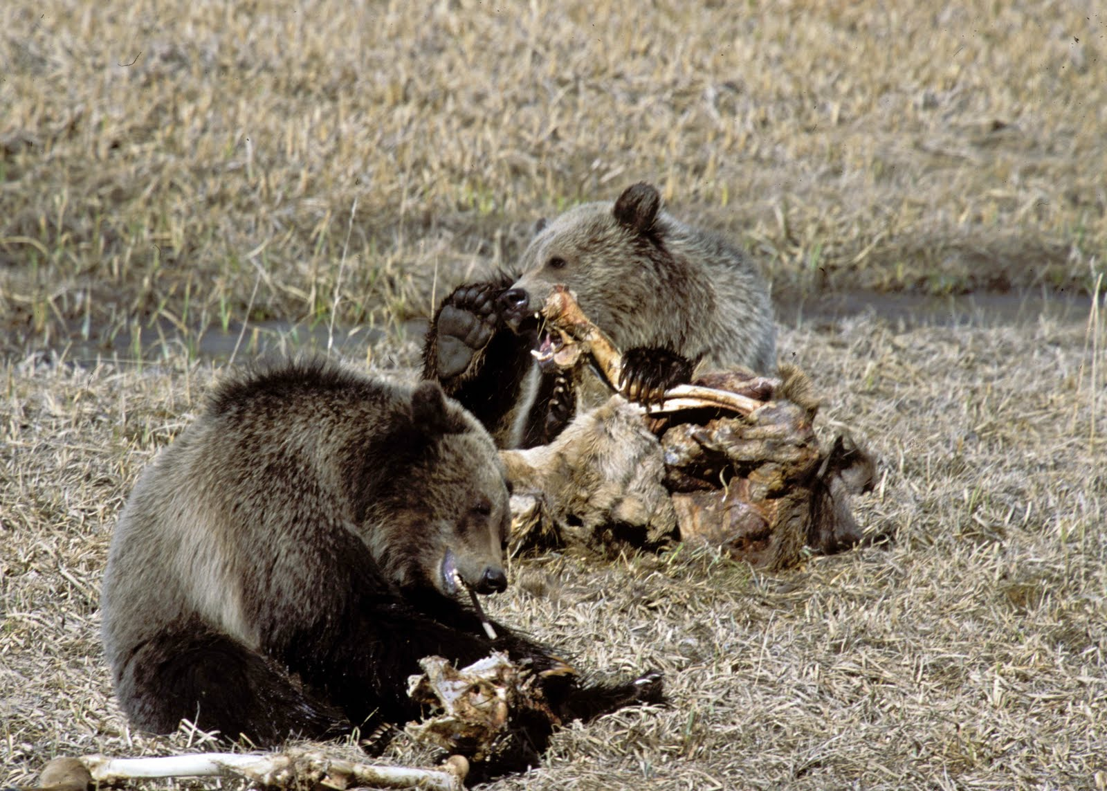 Grizzly Bear Eating Moose