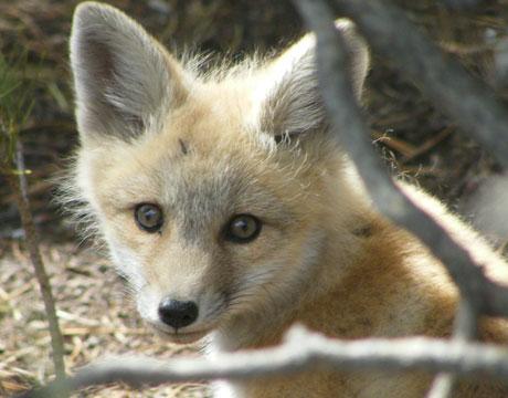 Cute Baby White Fox - photo#26