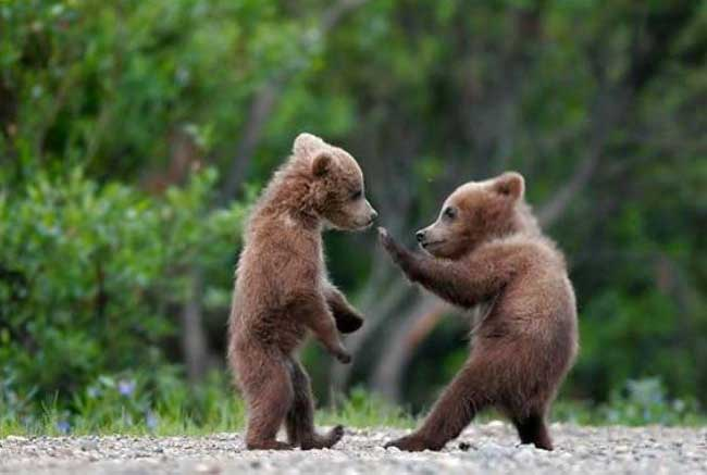 cute baby bear fight further toonvectors 19969 940 also  together with 1bc7543d7f930abec8a0d7f9973559ad also  furthermore  likewise Cute Baby Animals  252813 2529 as well 691649 bigthumbnail also hedgehog pic 1024x768 8f029e6 further  additionally 2764002 orig. on coloring pages of pygmy animals