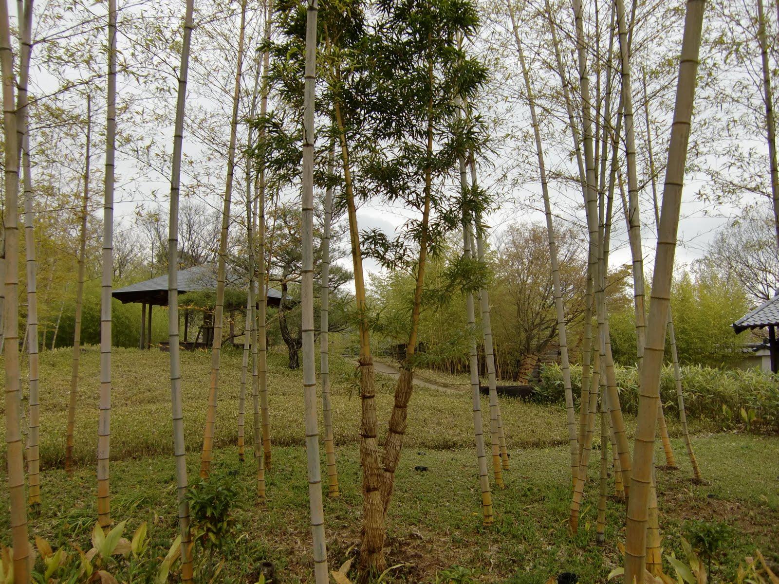 plantas jardim japones:bambu take kaizuka cyca buxinho podocarpo umê ameixeira japonesa