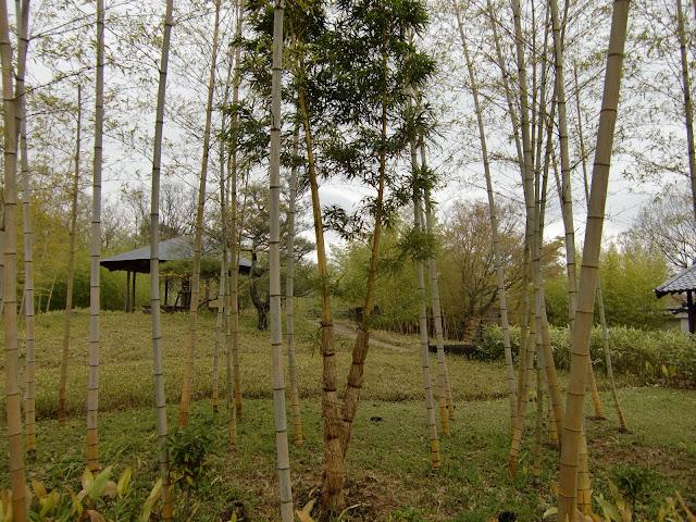 bambu no jardim japonês