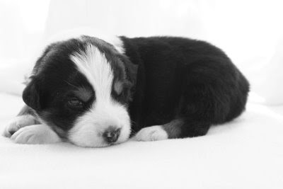 Blessings Abound Aussies The Puppies Have Their Eyes Open