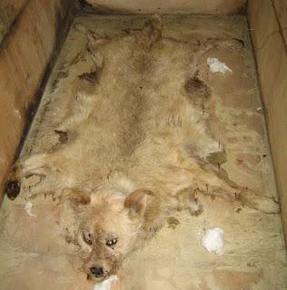 Perros usados como alfombras 17