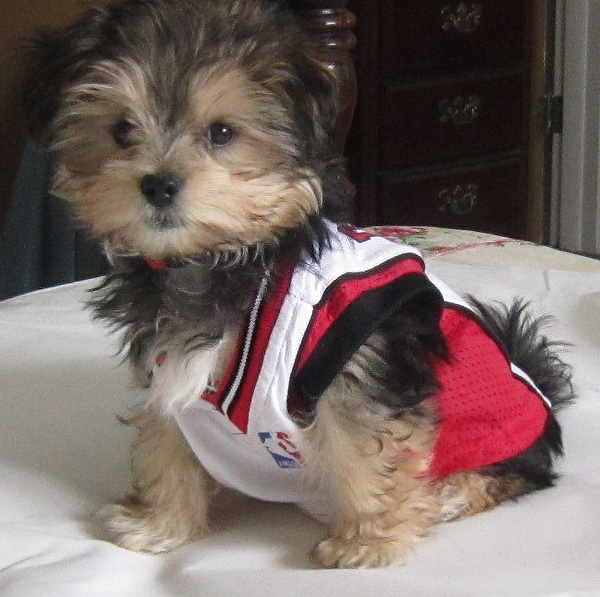 Morkie Haircuts http://aussieadoptee.blogspot.com/2011/01/who-cutest-morkie-puppy-in-world-pic.html