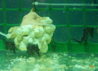 Cavallucci marini cavallucci marini - Colorazione cavallucci marini in ...
