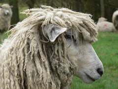 A Cotswold Ewe