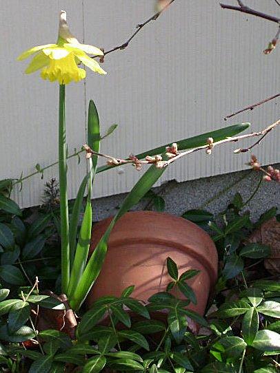 [1st+daffodil+flwr+almond]