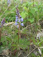 Lupine+resz Spring Birding at Iroqouis 5 17 08