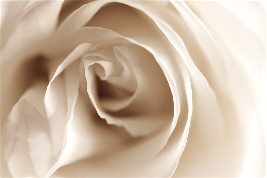 white rose pictures. White Rose