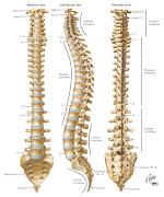 . lumbar vertebrae to figure prominently. I love anatomy art, .