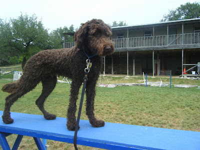 Alfie, still wet from the pond, standing alertly on some kind of agility catwalk at my shoulder height.