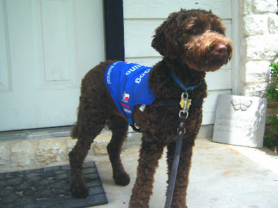 Alfie standing, blue working jacket and leash on, just outside our front door.  He's looking forward and eager to go!