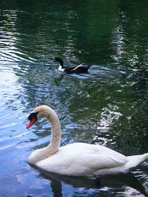 a beautiful white swan and brown duck swimming; the water reflects the blue sky above