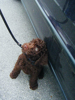 Alfie sits right next to the car door, waiting to get in