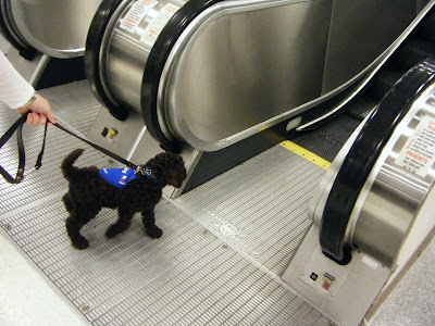 Alfie at 9 weeks old is just a dark bundle of fluff in a blue jacket, straining with tail wagging toward the escalator; you can see my hand on the leash holding him back