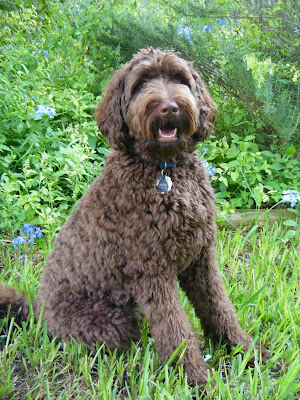 Alfie's sitting in front of some bushes; his thick brown fur makes him seem like a plump teddy bear, kind of sheepdog-ish