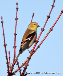 American Goldfinch, 11/29/10 Great Meadows - Concord