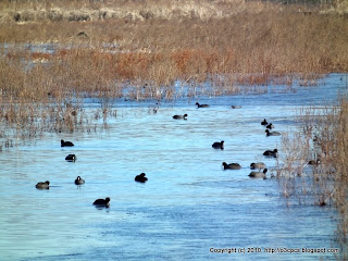 American Coots, 11/29/10 Great Meadows - Concord