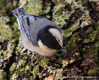 White-breasted Nuthatch, 12/02/10 Broadmoor