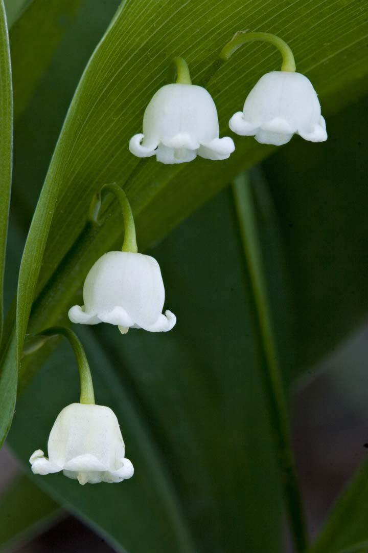 Lily Of The Valley Return Hiness