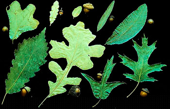 Variation in tree leaves