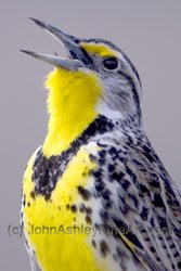 Western Meadowlark (c) 2009 John Ashley