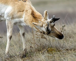 Pronghorn Antelope (c) 2009 John Ashley