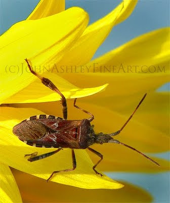 Western conifer seed bug (c) John Ashley