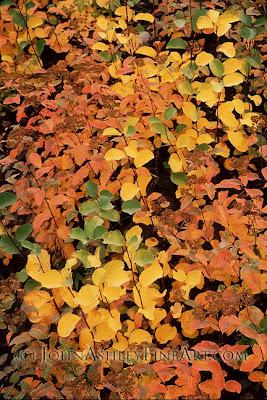 Birchleaf Spiraea in fall (c) John Ashley