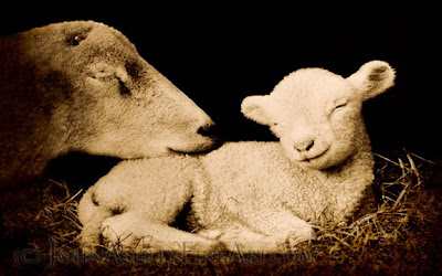 Peaceful Lamb (c) John Ashley