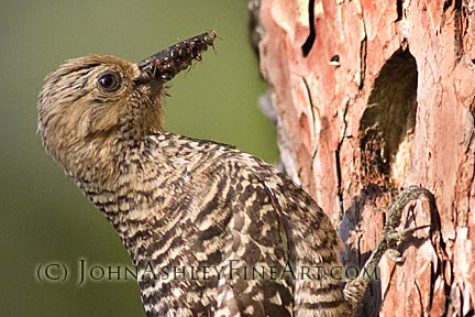 Female Williamson's Sapsucker delivers ants to the nest cavity (c) John Ashley