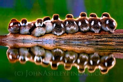 Juvenile Barrow's Goldeneyes rest on a log (c) John Ashley