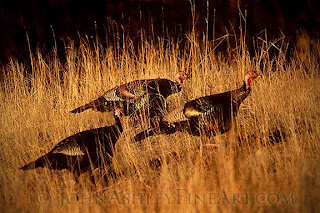 Three of Montana's 85,000 Wild Turkeys (c) John Ashley