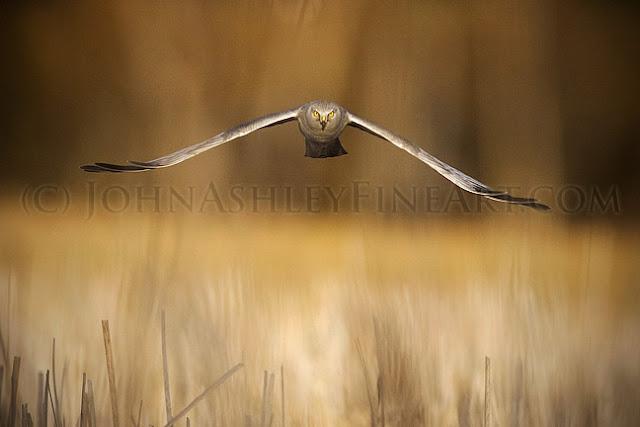 'Harrier Stare'