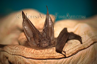 Townsend's Big-eared Bat (c) John Ashley